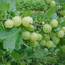 amla, un pilar de la medicina ayurveda, también aplicable a tintes vegetales